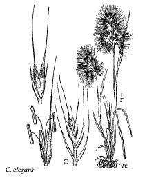 Cynosurus elegans