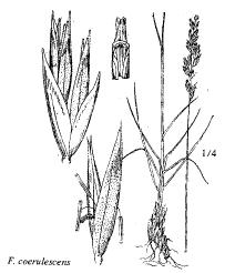 Festuca coerulescens