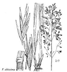 Festuca altissima