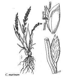 Catapodium marinum