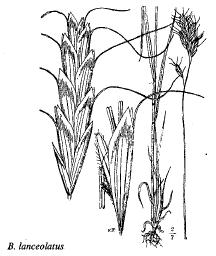 Bromus lanceolatus