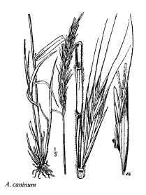 Agropyron caninum
