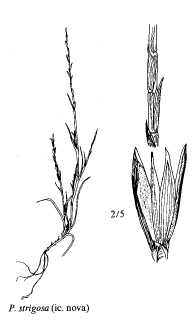 Parapholis strigosa