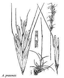 Avenula pratensis