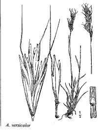 Avenula versicolor
