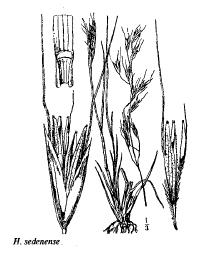 Helictotrichon sedenense