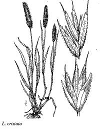 Lophochloa cristata
