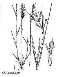 Chaetopogon fasciculatus