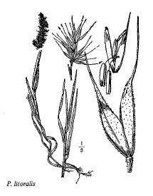 Polypogon litoralis