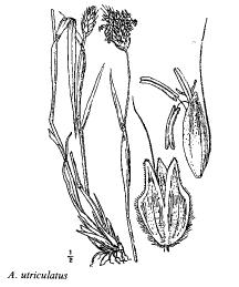 Alopecurus utriculatus