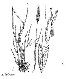 Alopecurus bulbosus