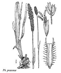 Phleum pratense