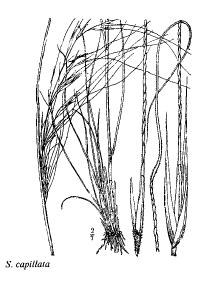 Stipa capillata