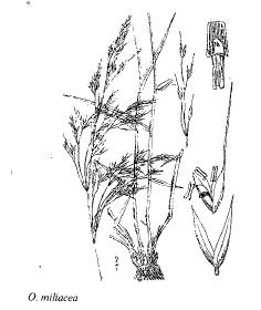 Oryzopsis miliacea