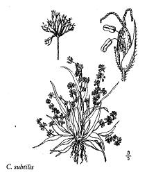 Coleanthus subtilis