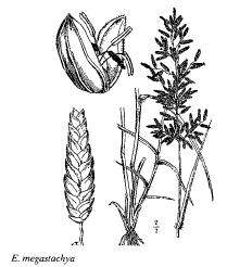 Eragrostis megastachya