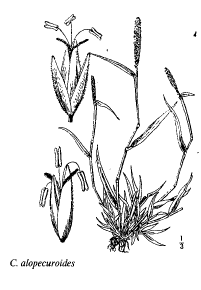 Crypsis alopecuroides