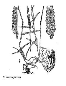 Brachiaria erucaeformis