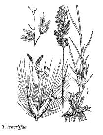 Tricholaena teneriffae