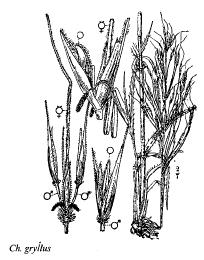 Chrysopogon gryllus