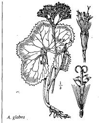 Adenostyles glabra