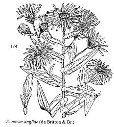 Aster novae-angliae