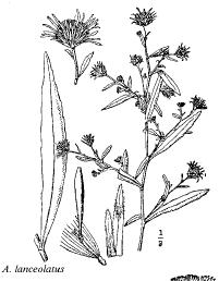 Aster lanceolatus