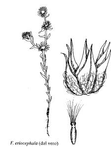 Filago eriocephala