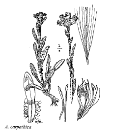Antennaria carpatica