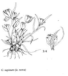 Gnaphalium supinum