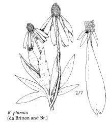 Rudbeckia pinnata