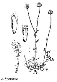 Anthemis hydruntina