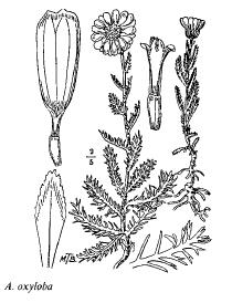 Achillea oxyloba