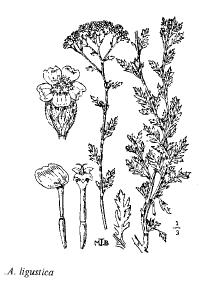 Achillea ligustica