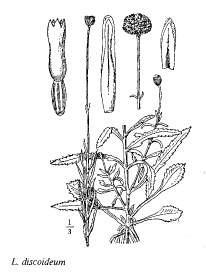 Leucanthemum discoideum