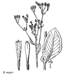 Balsamita major
