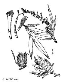 Artemisia verlotorum