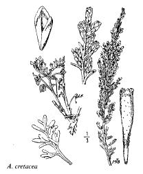 Artemisia cretacea
