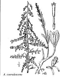 Artemisia coerulescens