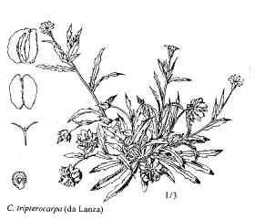 Calendula tripterocarpa
