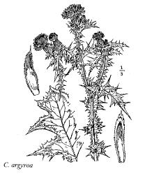 Carduus argyroa