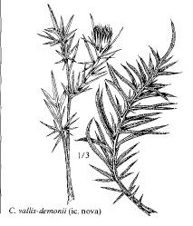 Cirsium vallis-demonii