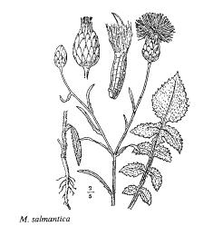 Mantisalca salmantica