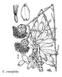 Centaurea crassifolia