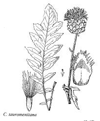 Centaurea tauromenitana