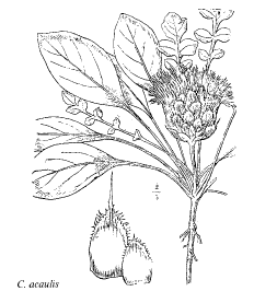 Centaurea acaulis