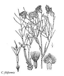 Centaurea filiformis