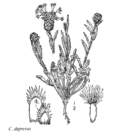 Centaurea depressa