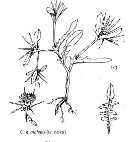 Centaurea hyalolepis
