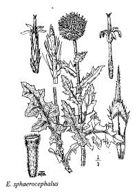 Echinops sphaerocephalus